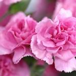 母の日のカーネーションは色で意味、咲き方で花言葉が違う