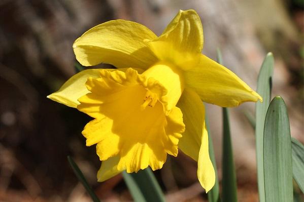 黄色のラッパズイセン
