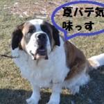 犬の夏バテの対処法!食事以外にも散歩の時間帯が重要?