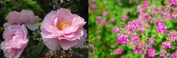 牡丹の花と萩の花