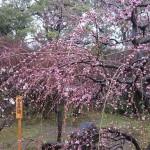 北野天満宮の梅は2017年の見頃はいつ頃?時間帯が大事?