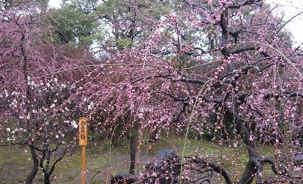 北野天満宮の梅の花