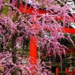 京都の梅の名所2017版!市内と市外でおすすめはどこだ!?