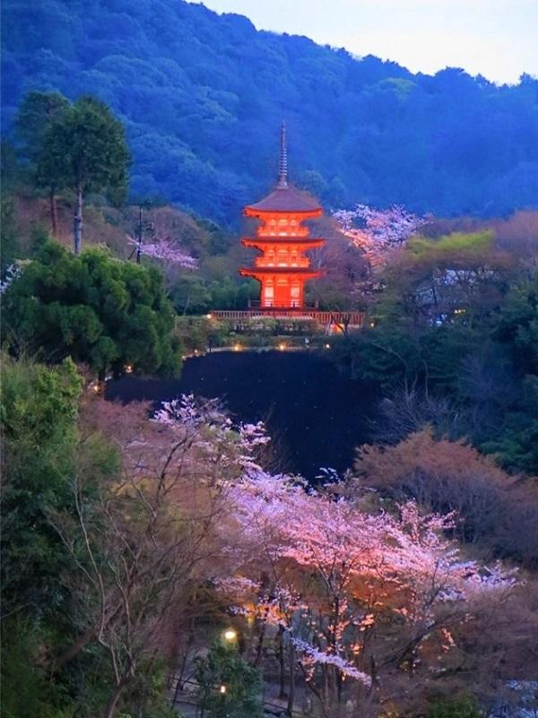 清水寺の夕桜の写真1