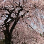 京都の桜の見頃2017年はいつ頃?満開になったら急げ!?
