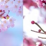 桜と梅の違いとは?見分け方のコツは枝?