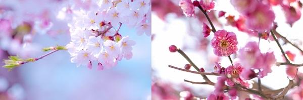 桜と梅の花の枝部分