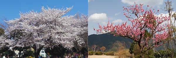 桜の木と梅の木の違い