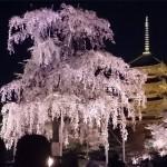 京都の桜ライトアップの名所2017年で見納めの場所あり?