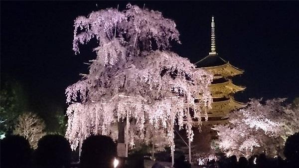 東寺の桜のライトアップ